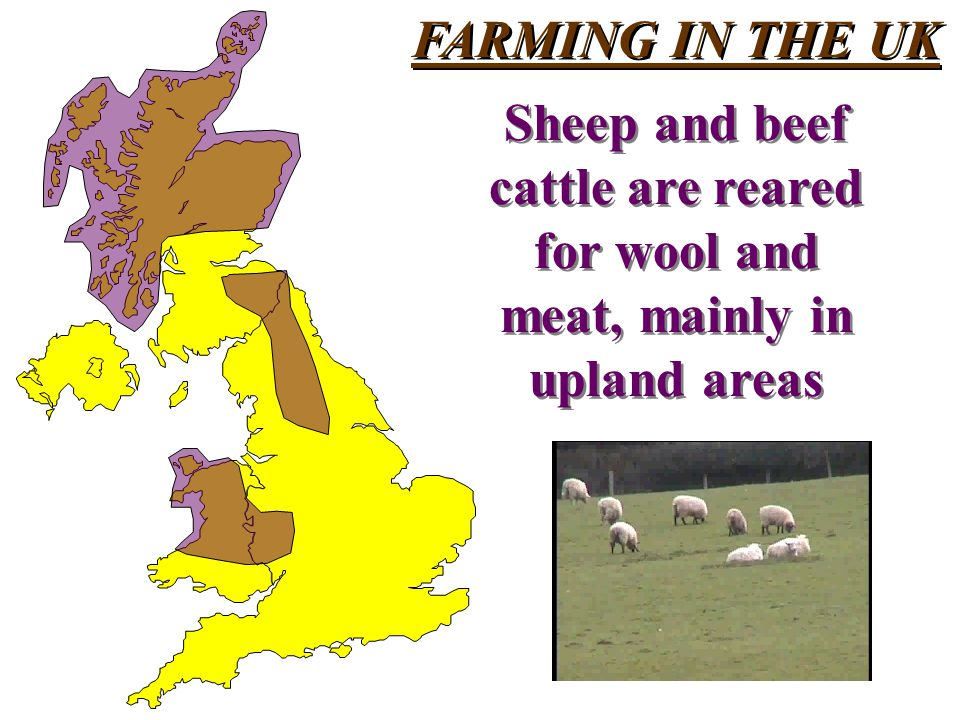 FARMING IN THE UK Sheep and beef cattle are reared for wool and meat, mainly in upland areas