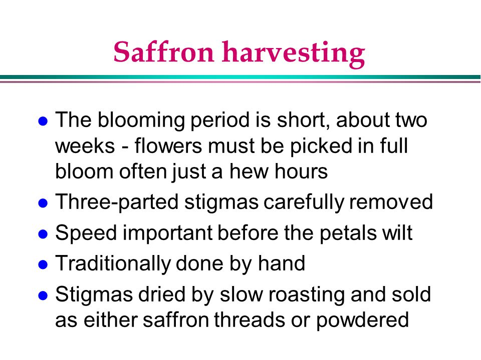 Saffron harvesting The blooming period is short, about two weeks - flowers must be picked in full bloom often just a hew hours.