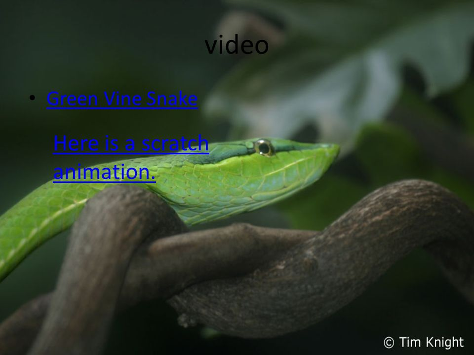 video Green Vine Snake Here is a scratch animation.