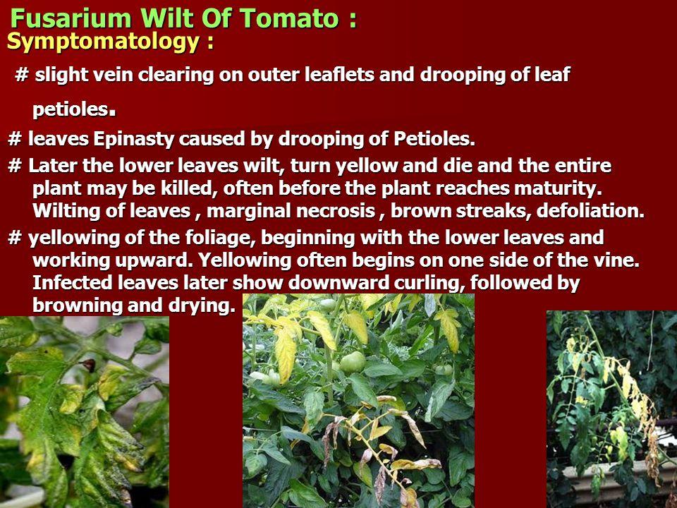 Fusarium Wilt Of Tomato :