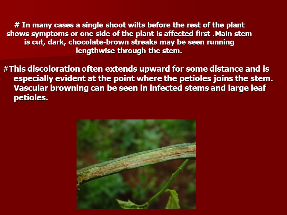 # In many cases a single shoot wilts before the rest of the plant shows symptoms or one side of the plant is affected first .Main stem is cut, dark, chocolate-brown streaks may be seen running lengthwise through the stem.