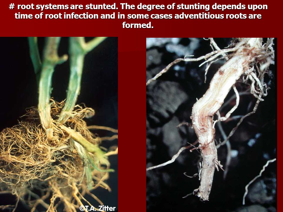 # root systems are stunted