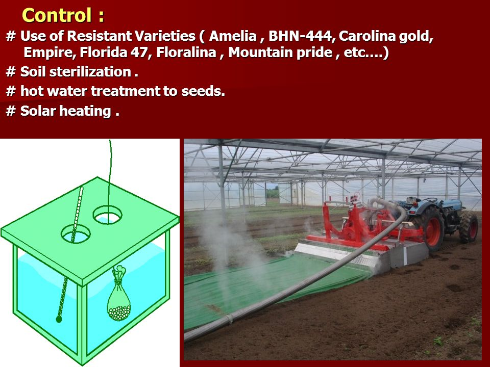 Control : # Use of Resistant Varieties ( Amelia , BHN-444, Carolina gold, Empire, Florida 47, Floralina , Mountain pride , etc….)