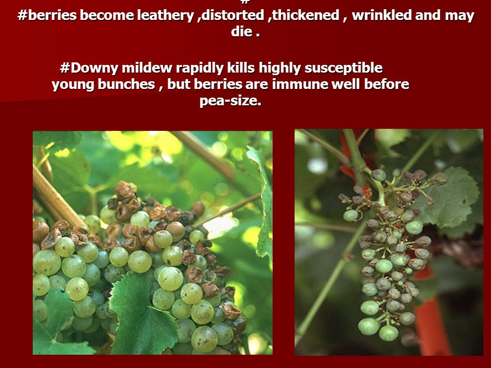 # #berries become leathery ,distorted ,thickened , wrinkled and may die .