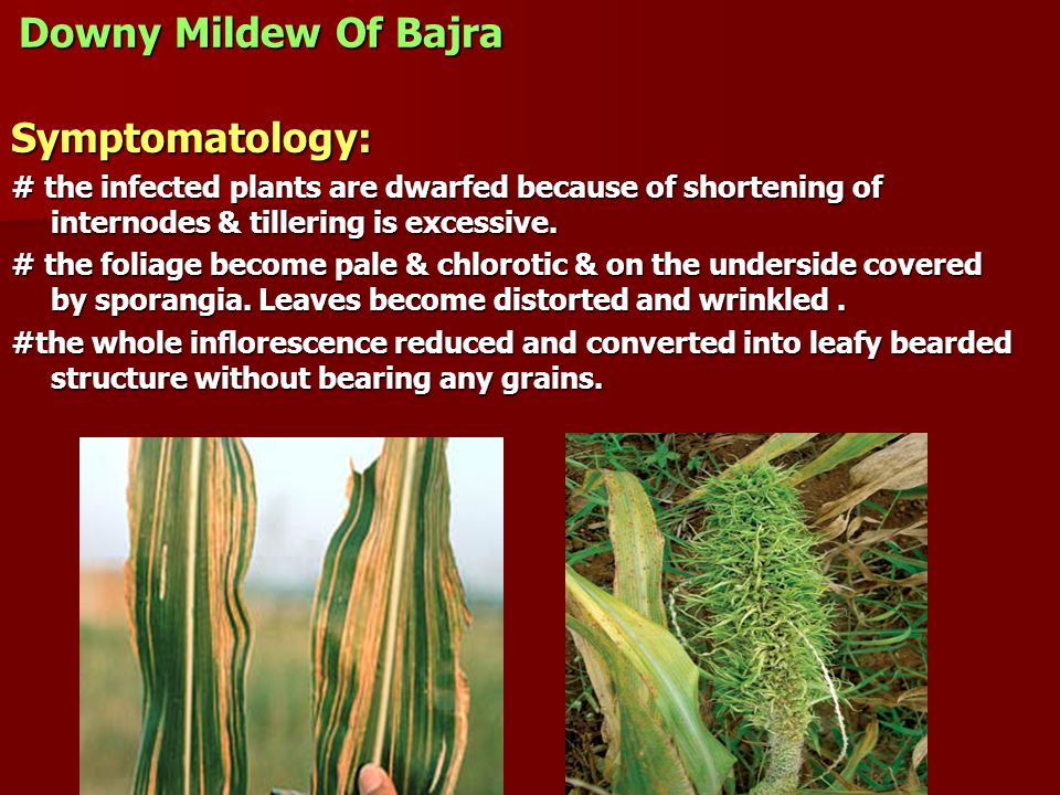 Downy Mildew Of Bajra Symptomatology: