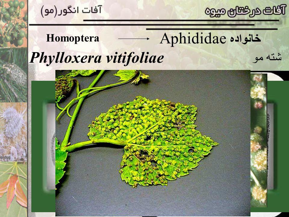 Phylloxera vitifoliae