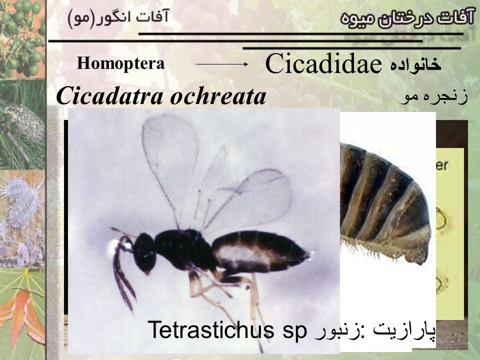 Cicadidae خانواده Cicadatra ochreata پارازیت :زنبور Tetrastichus sp