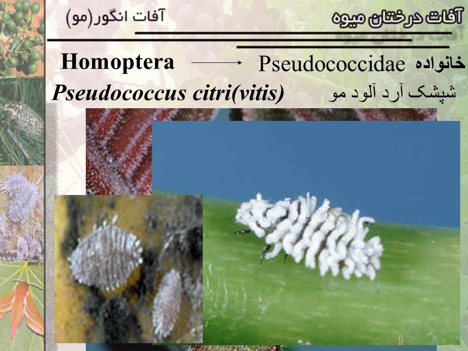 Pseudococcus citri(vitis)
