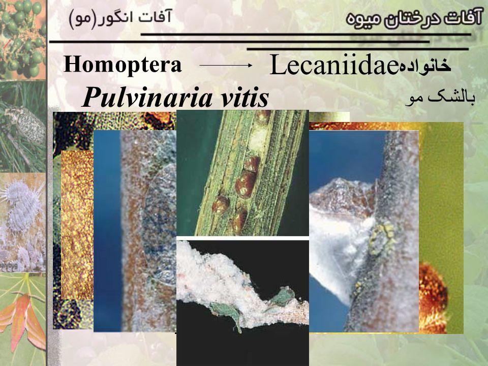 Homoptera Lecaniidaeخانواده Pulvinaria vitis بالشک مو