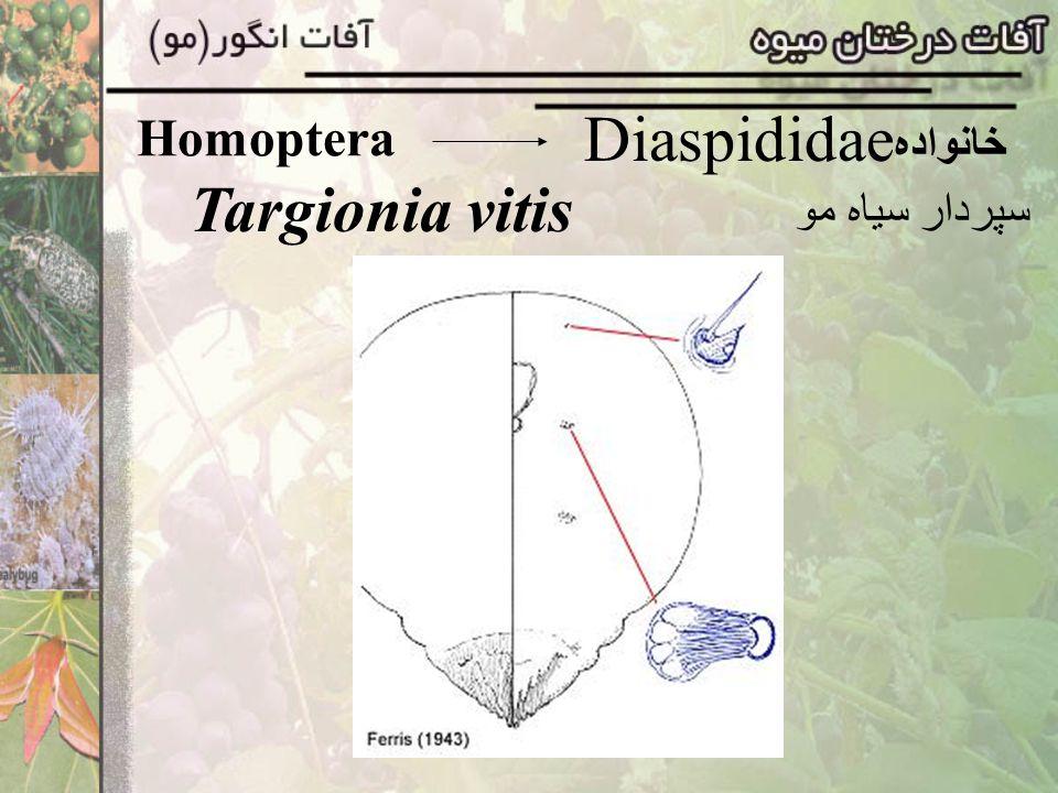 Homoptera Diaspididaeخانواده Targionia vitis سپردار سياه مو
