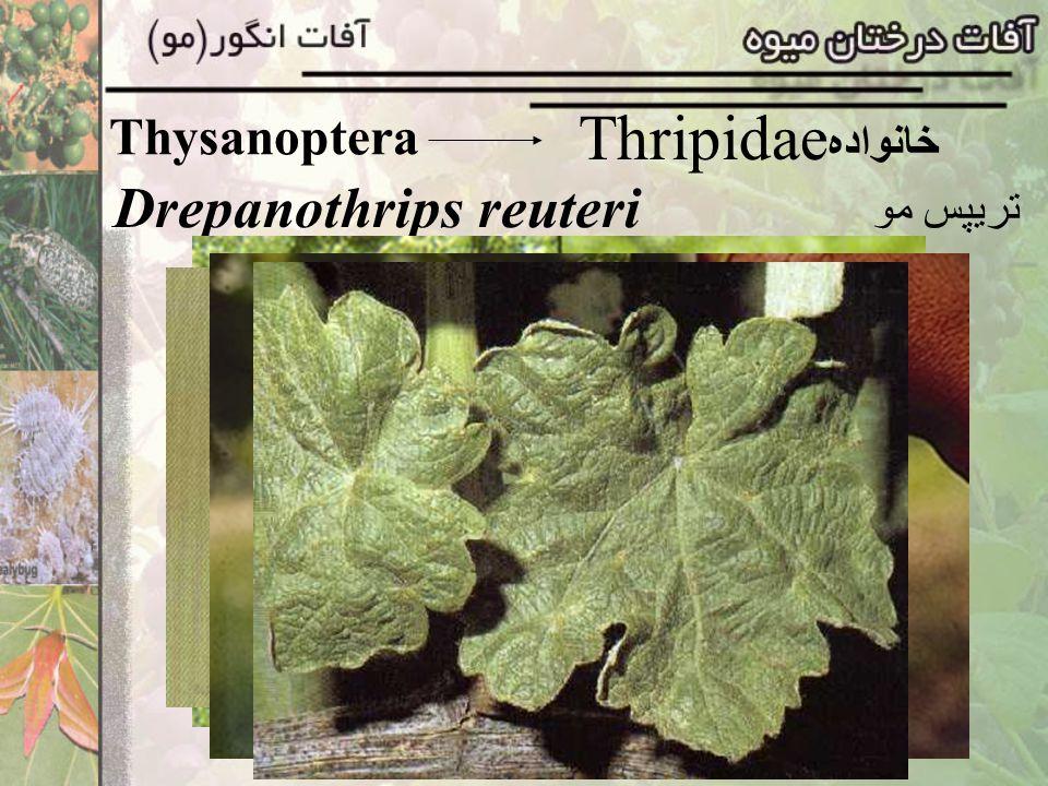 Drepanothrips reuteri