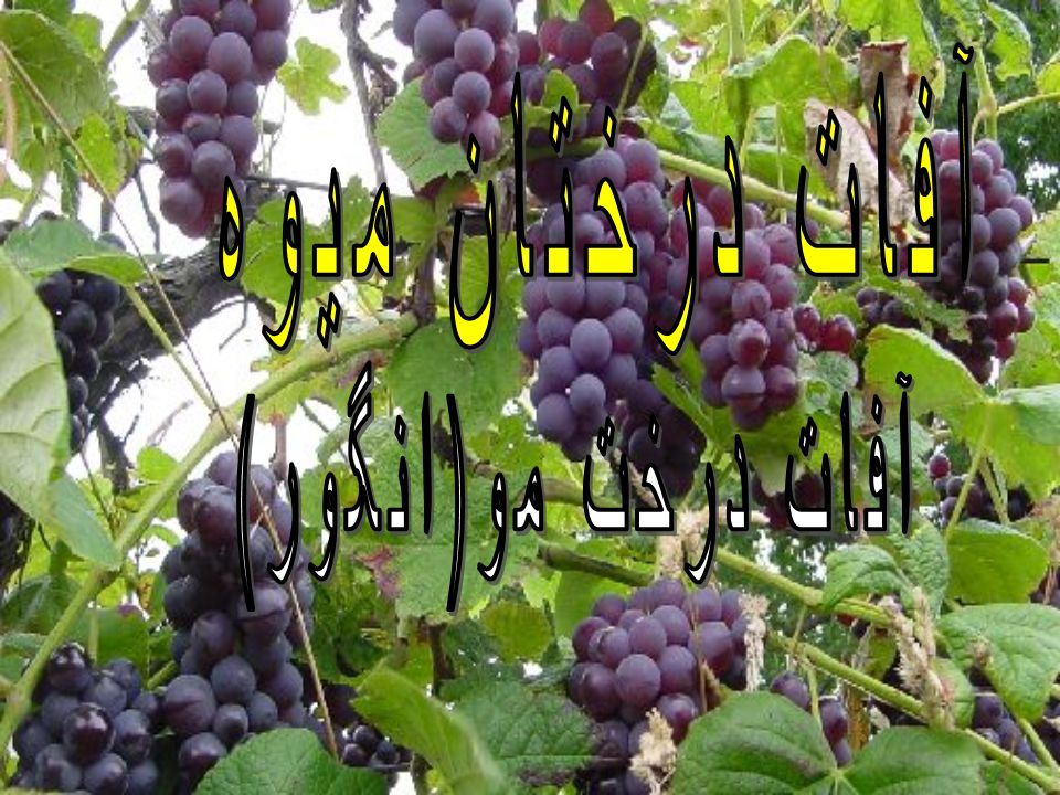 آفات درختان ميوه آفات درخت مو(انگور)