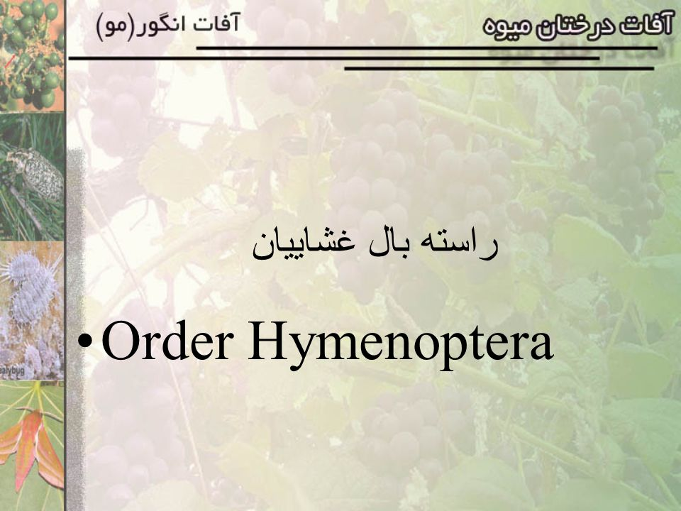 راسته بال غشاييان Order Hymenoptera