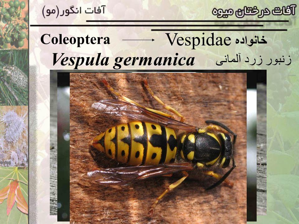 Coleoptera Vespidae خانواده Vespula germanica زنبور زرد آلمانی