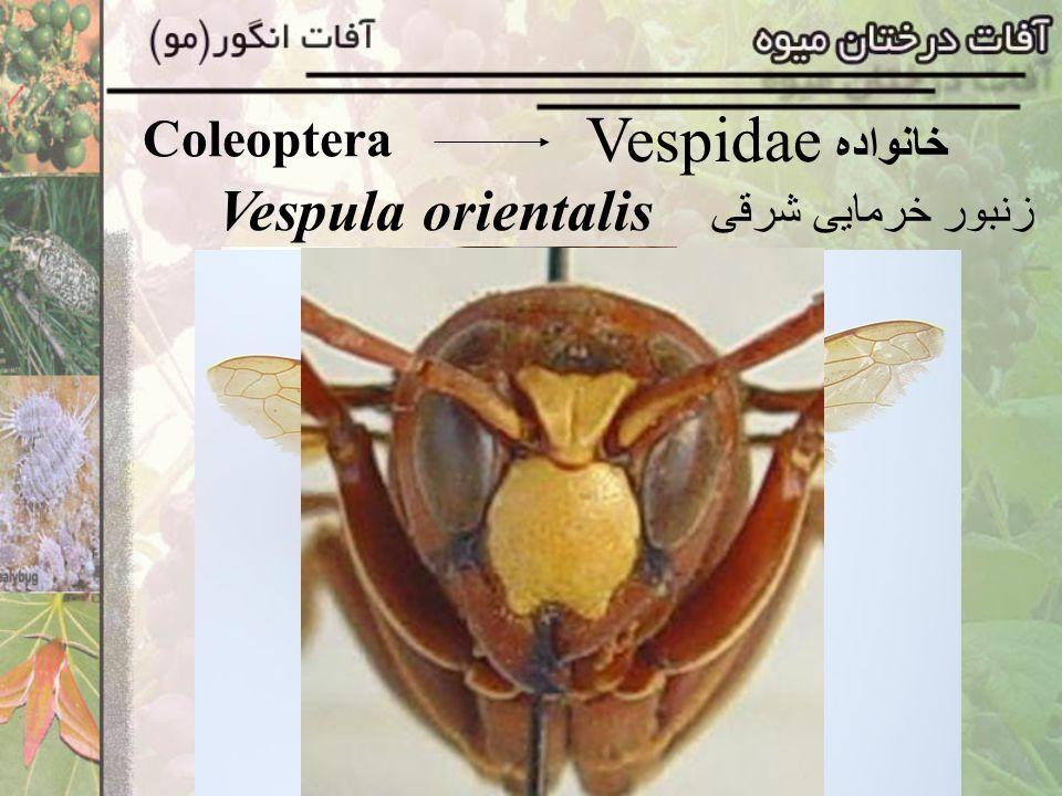 Coleoptera Vespidae خانواده Vespula orientalis زنبور خرمايی شرقی