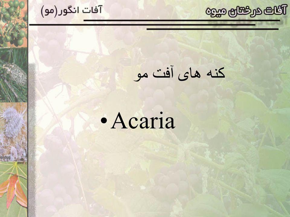 کنه های آفت مو Acaria