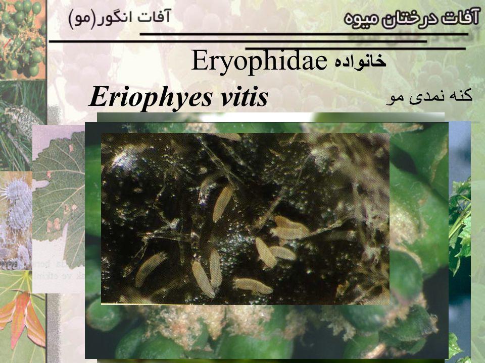 Eryophidae خانواده Eriophyes vitis کنه نمدی مو