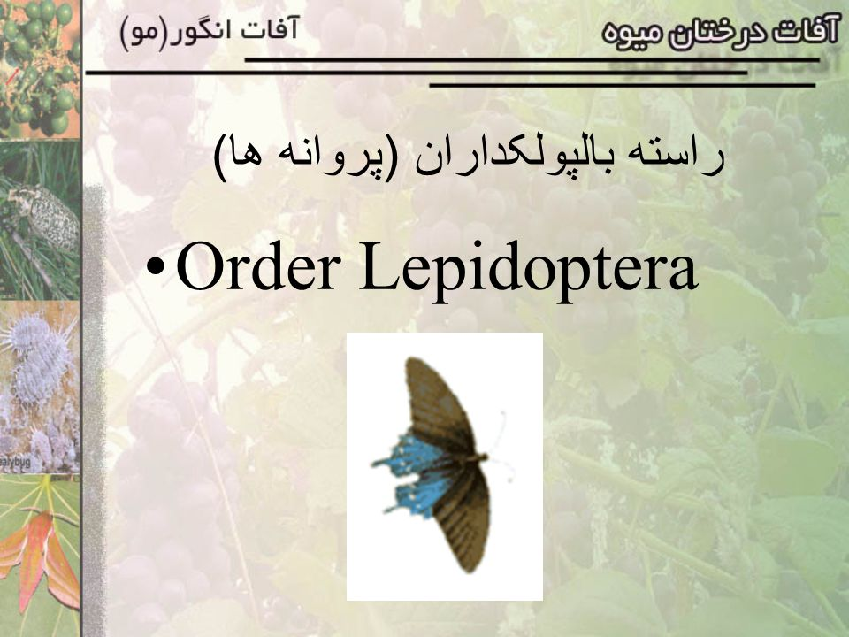 راسته بالپولکداران (پروانه ها)