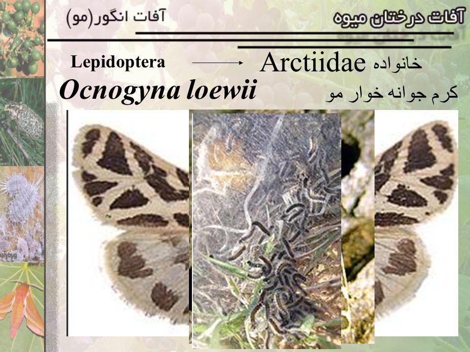 Lepidoptera Arctiidae خانواده Ocnogyna loewii کرم جوانه خوار مو