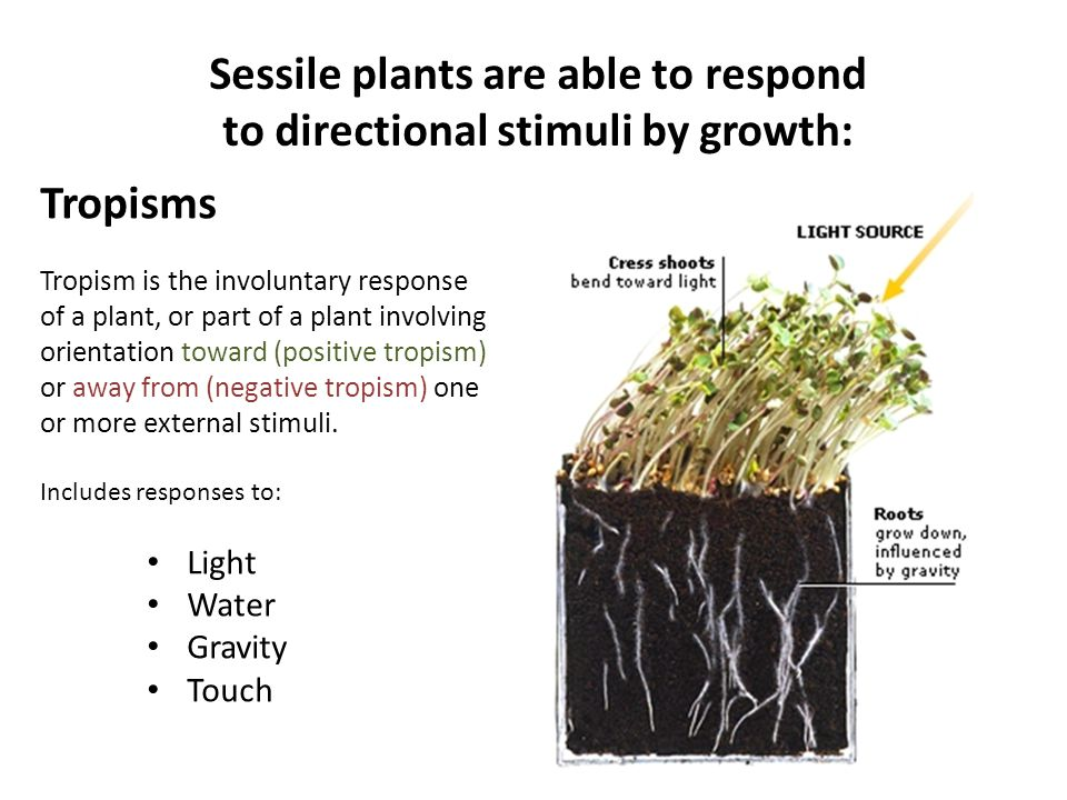 Sessile plants are able to respond to directional stimuli by growth: