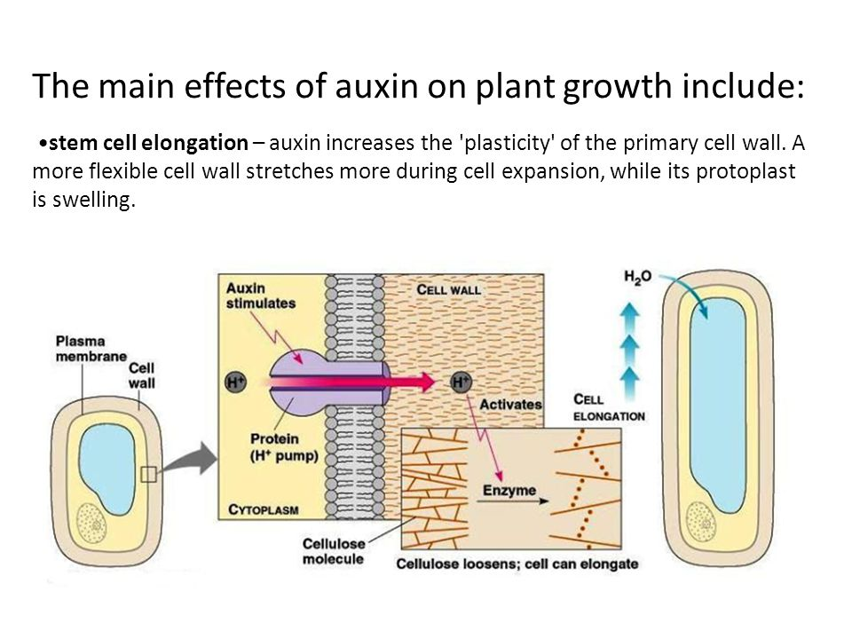 The main effects of auxin on plant growth include: