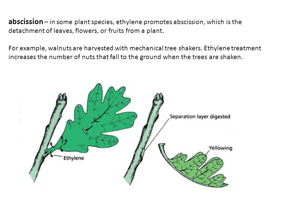 abscission – in some plant species, ethylene promotes abscission, which is the detachment of leaves, flowers, or fruits from a plant.