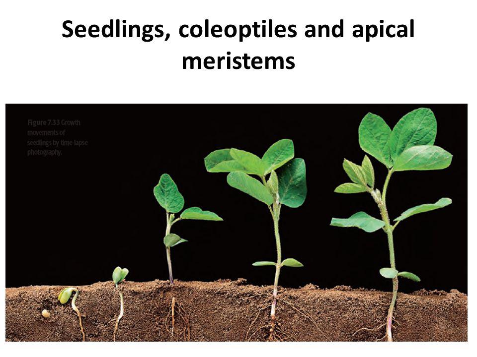 Seedlings, coleoptiles and apical meristems