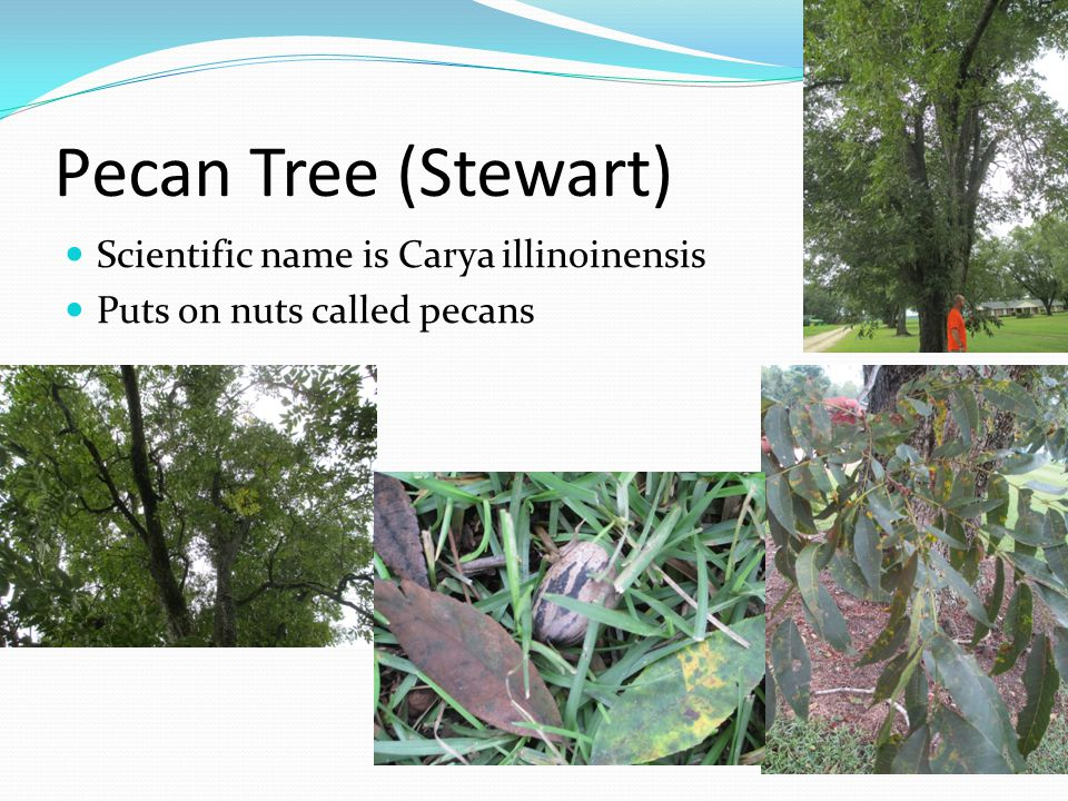 Pecan Tree (Stewart) Scientific name is Carya illinoinensis