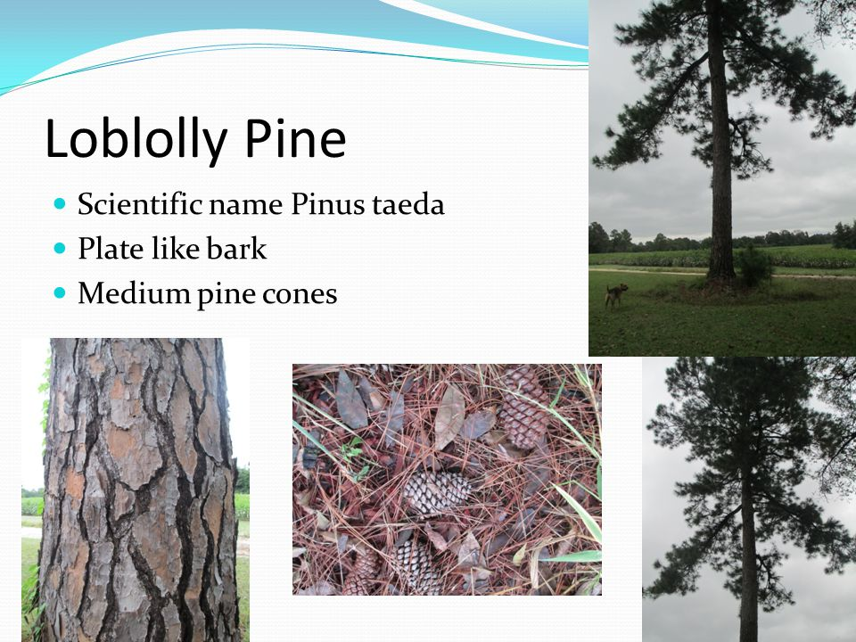 Loblolly Pine Scientific name Pinus taeda Plate like bark