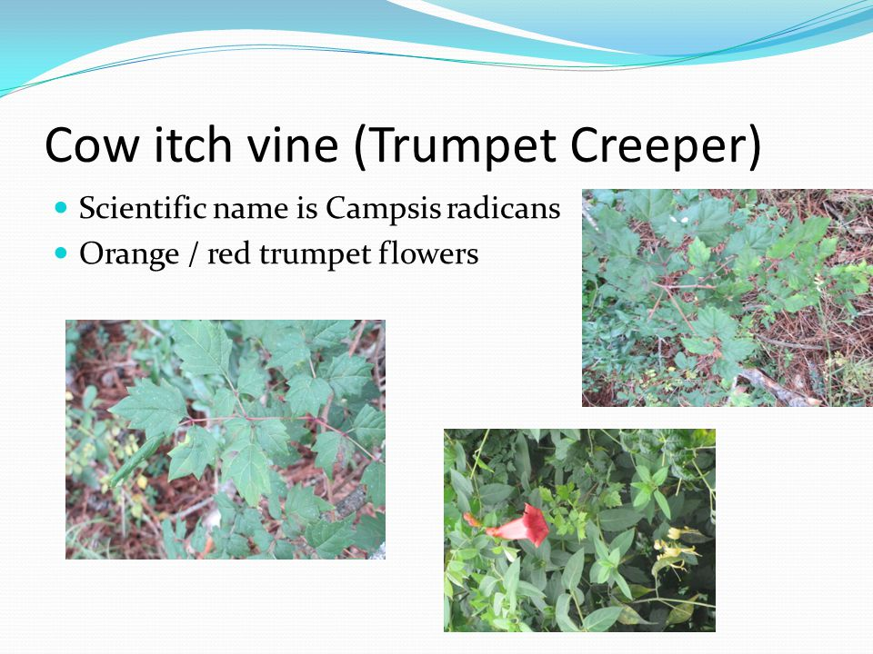 Cow itch vine (Trumpet Creeper)