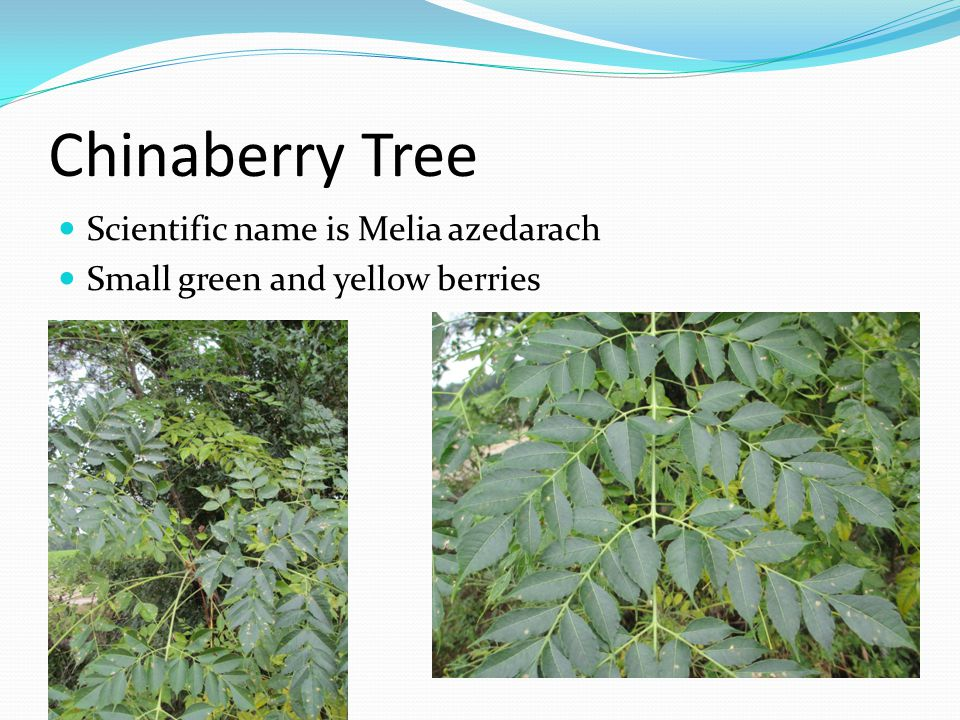 Chinaberry Tree Scientific name is Melia azedarach