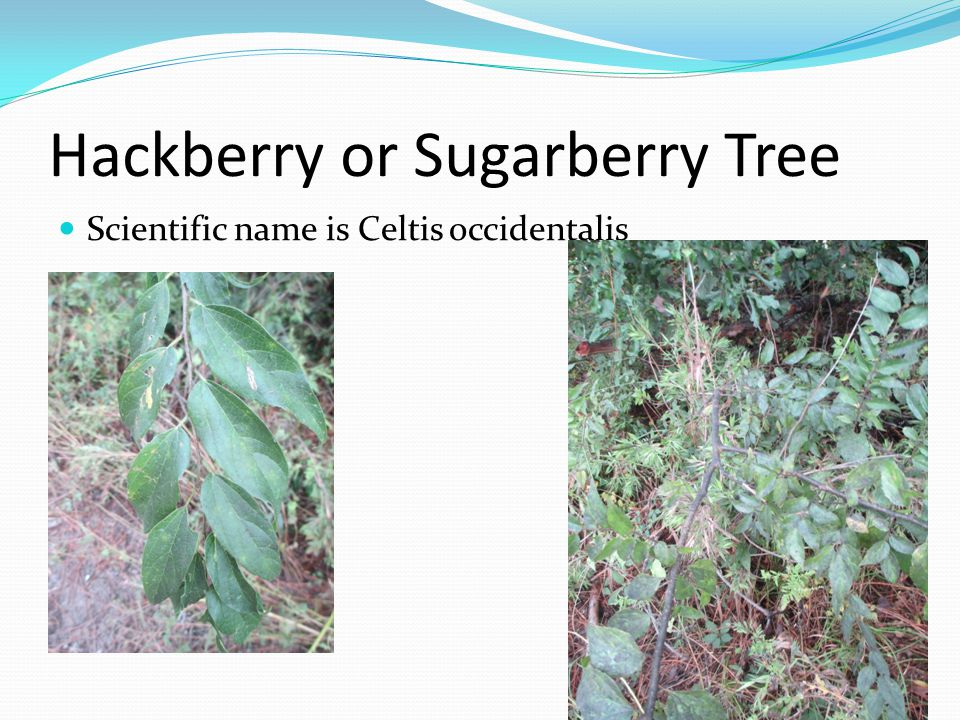 Hackberry or Sugarberry Tree