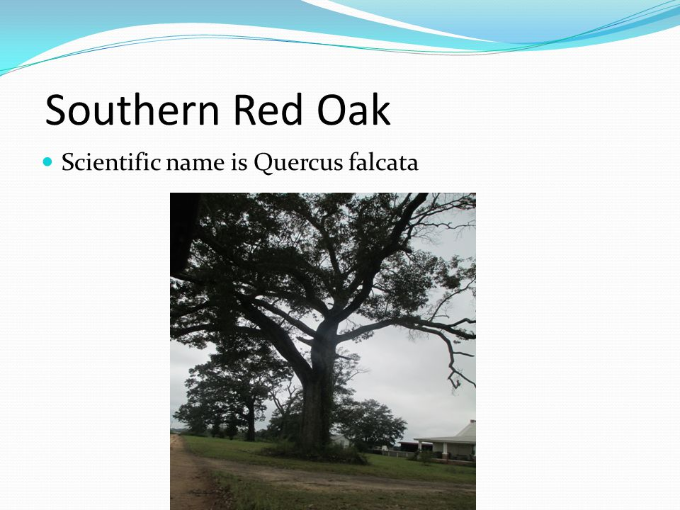 Southern Red Oak Scientific name is Quercus falcata