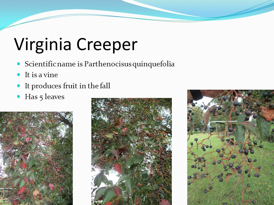 Virginia Creeper Scientific name is Parthenocisus quinquefolia
