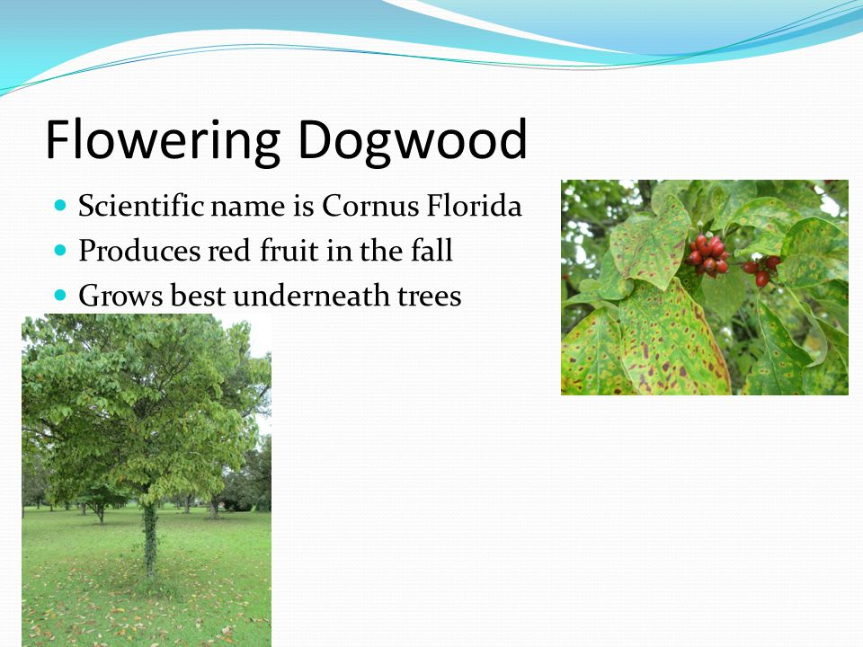 Flowering Dogwood Scientific name is Cornus Florida