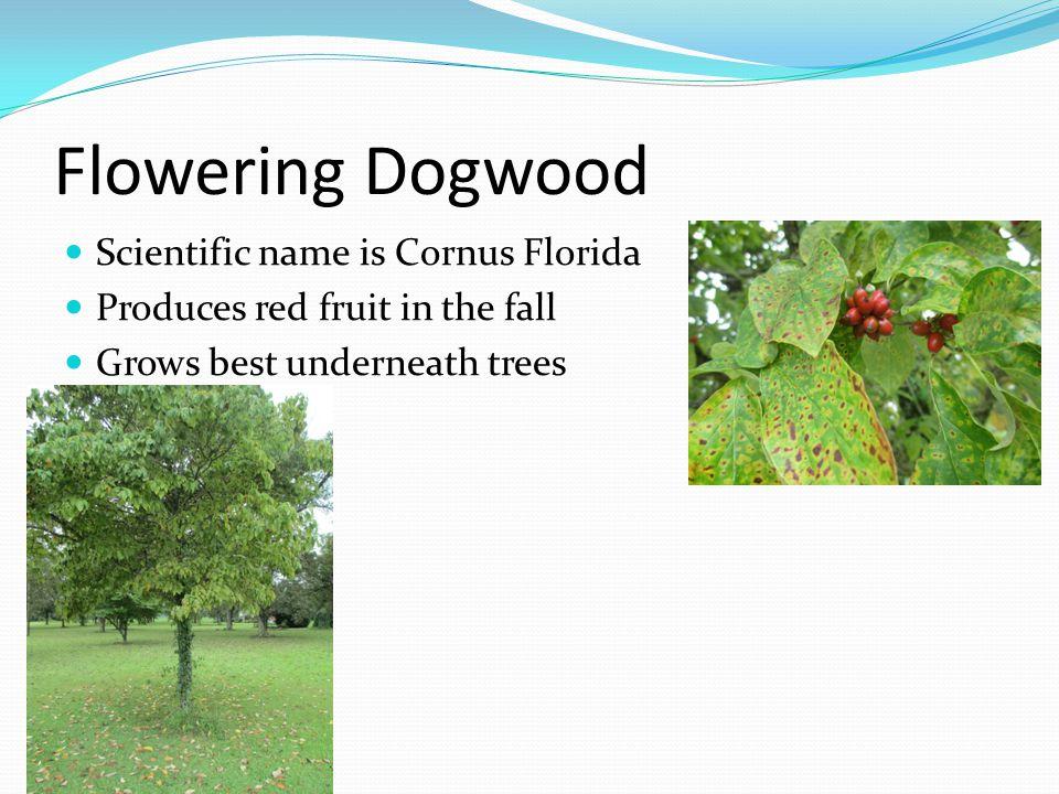 Flowering Dogwood Scientific name is Cornus Florida