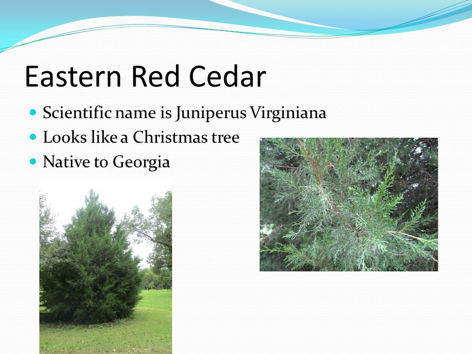 Eastern Red Cedar Scientific name is Juniperus Virginiana