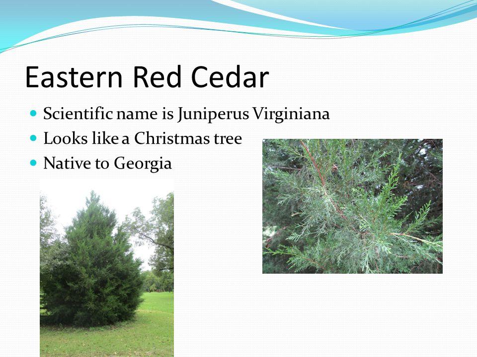 Eastern Red Cedar Scientific name is Juniperus Virginiana