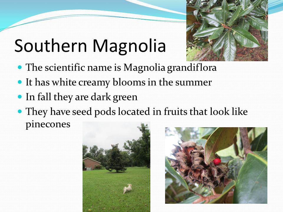 Southern Magnolia The scientific name is Magnolia grandiflora