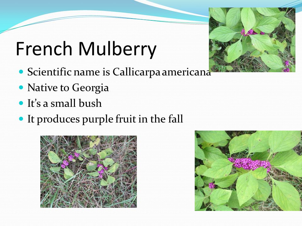 French Mulberry Scientific name is Callicarpa americana