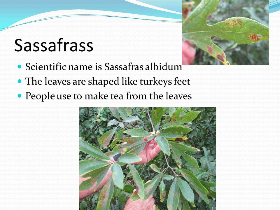 Sassafrass Scientific name is Sassafras albidum