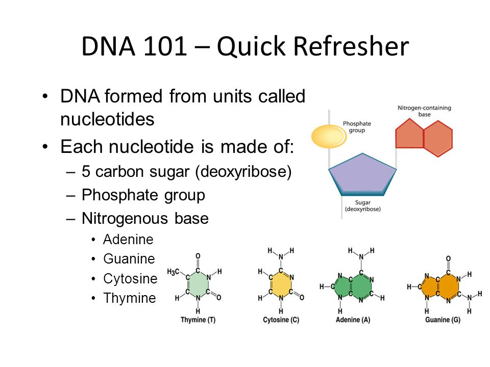 DNA 101 – Quick Refresher DNA formed from units called nucleotides