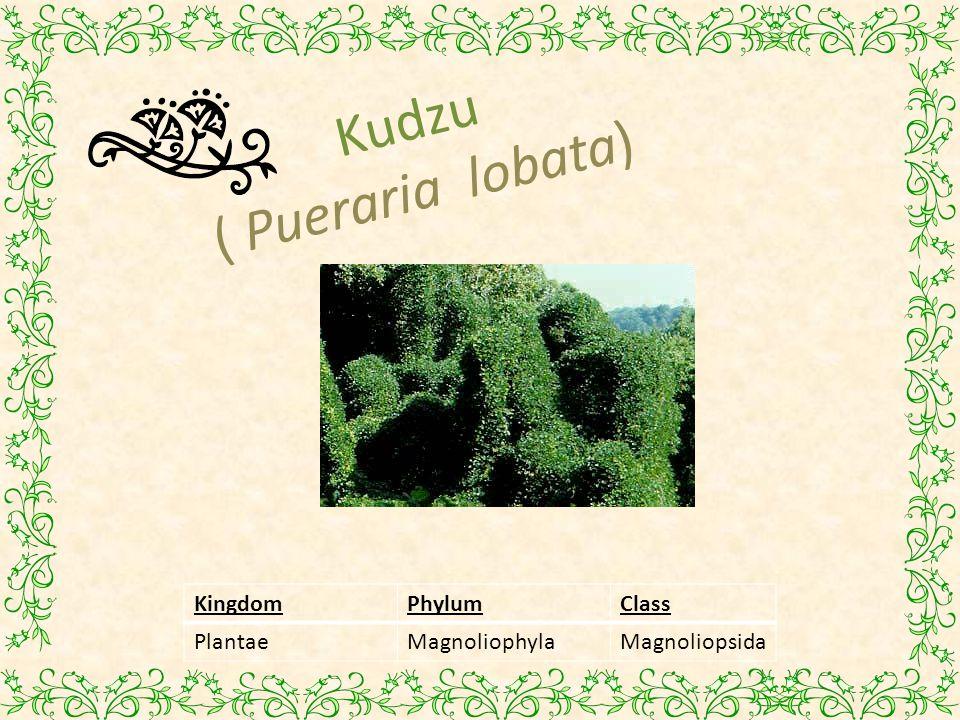 Kudzu ( Pueraria lobata)