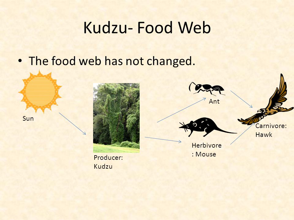 Kudzu- Food Web The food web has not changed. Ant Sun Carnivore: Hawk
