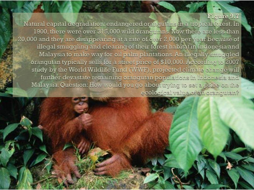 Figure 9.7 Natural capital degradation: endangered orangutans in a tropical forest.