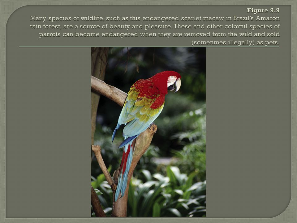 Figure 9.9 Many species of wildlife, such as this endangered scarlet macaw in Brazil's Amazon rain forest, are a source of beauty and pleasure.