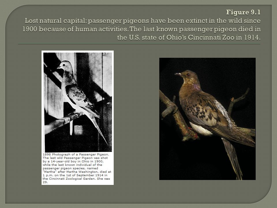 Figure 9.1 Lost natural capital: passenger pigeons have been extinct in the wild since 1900 because of human activities.