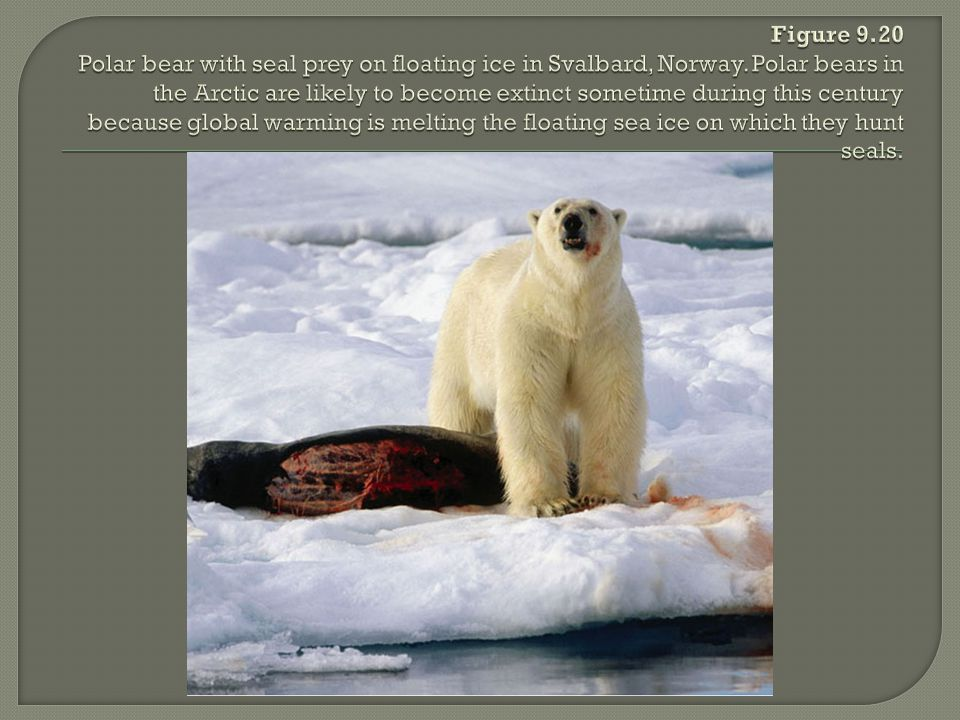 Figure 9.20 Polar bear with seal prey on floating ice in Svalbard, Norway.