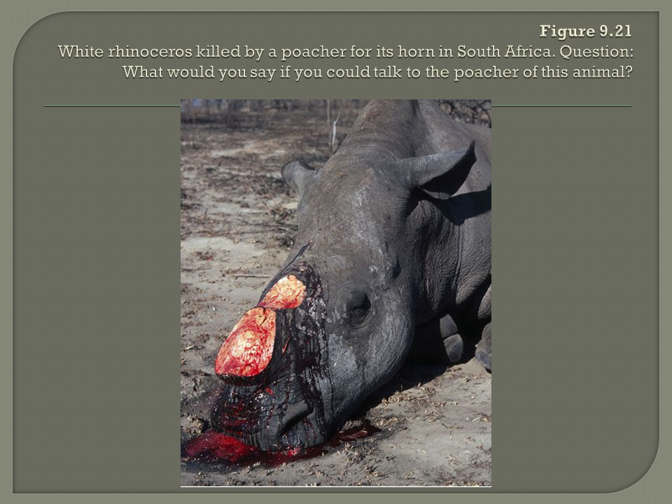 Figure 9.21 White rhinoceros killed by a poacher for its horn in South Africa.