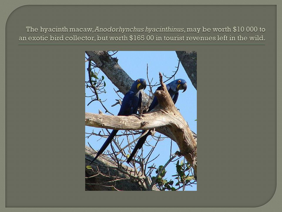 The hyacinth macaw, Anodorhynchus hyacinthinus, may be worth $10 000 to an exotic bird collector, but worth $165 00 in tourist revenues left in the wild.